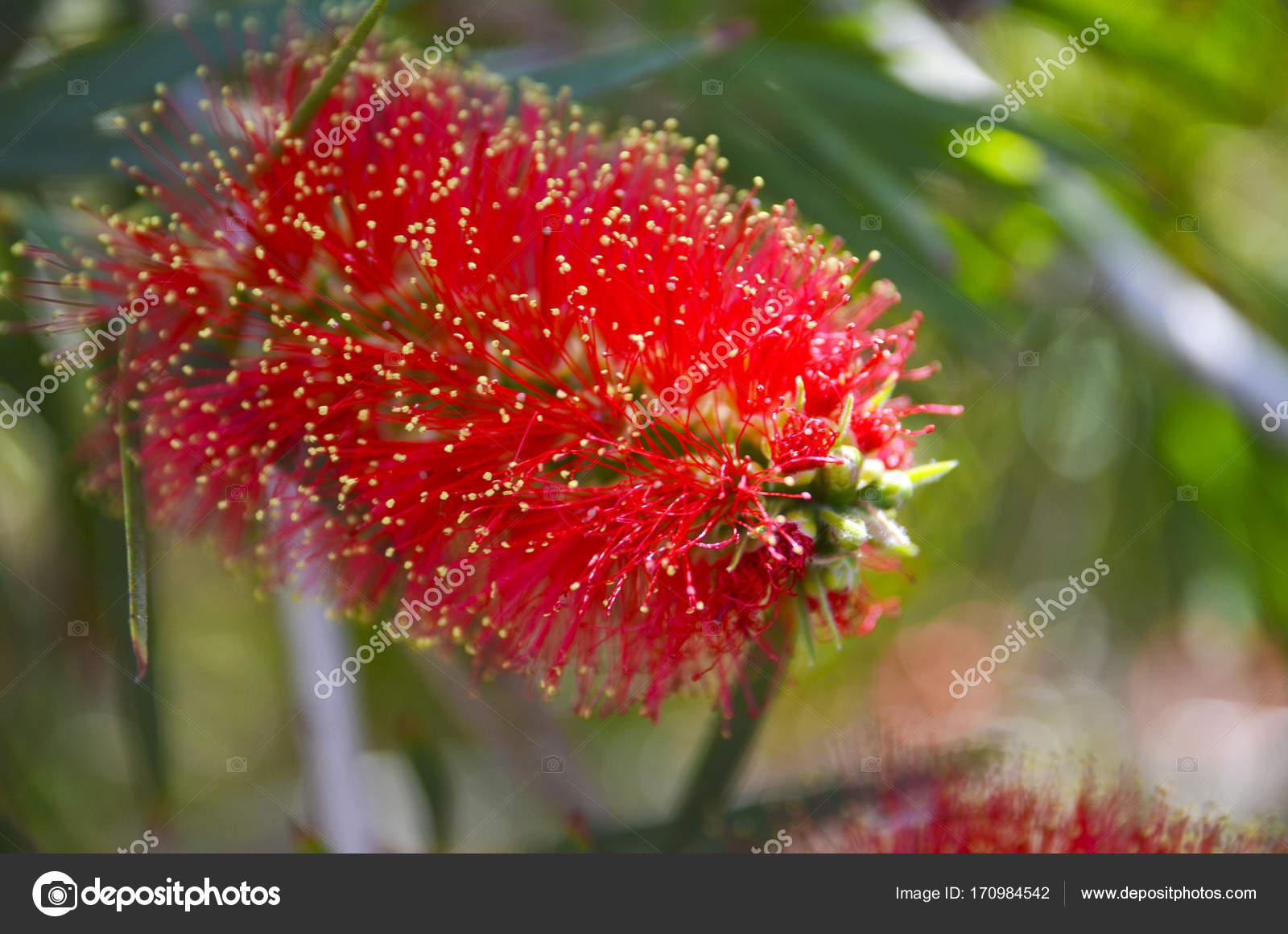 Red callistemon bloem in de tropische tuin van tenerife for Botanische tuin tenerife