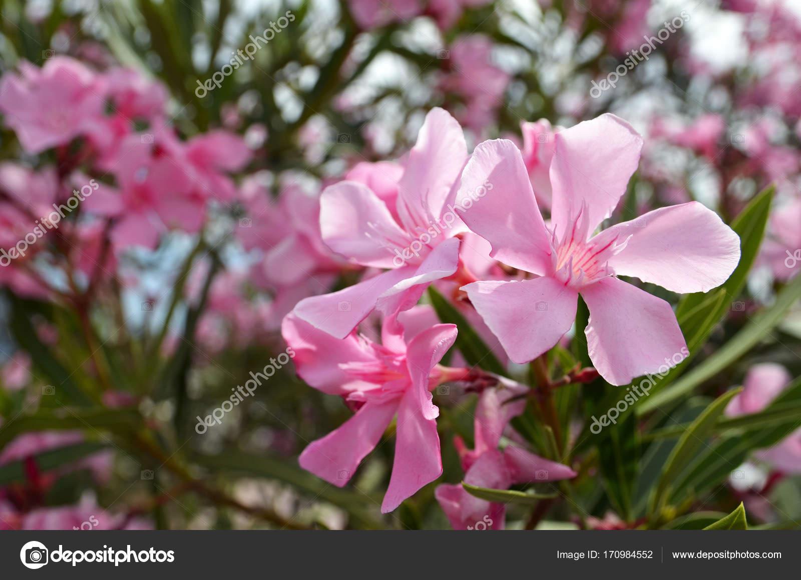 Pink Oleander Flowers Oleander Nerium In Tropical Garden Of
