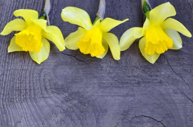 Yellow daffodils flowers on old wooden background with space for text.Spring Narcissus flowers border.Happy Woman's Day,Mother's Day or Springtime concept.Selective focus.