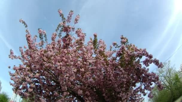 sakura or cherry blossom flower full bloom in spring season.