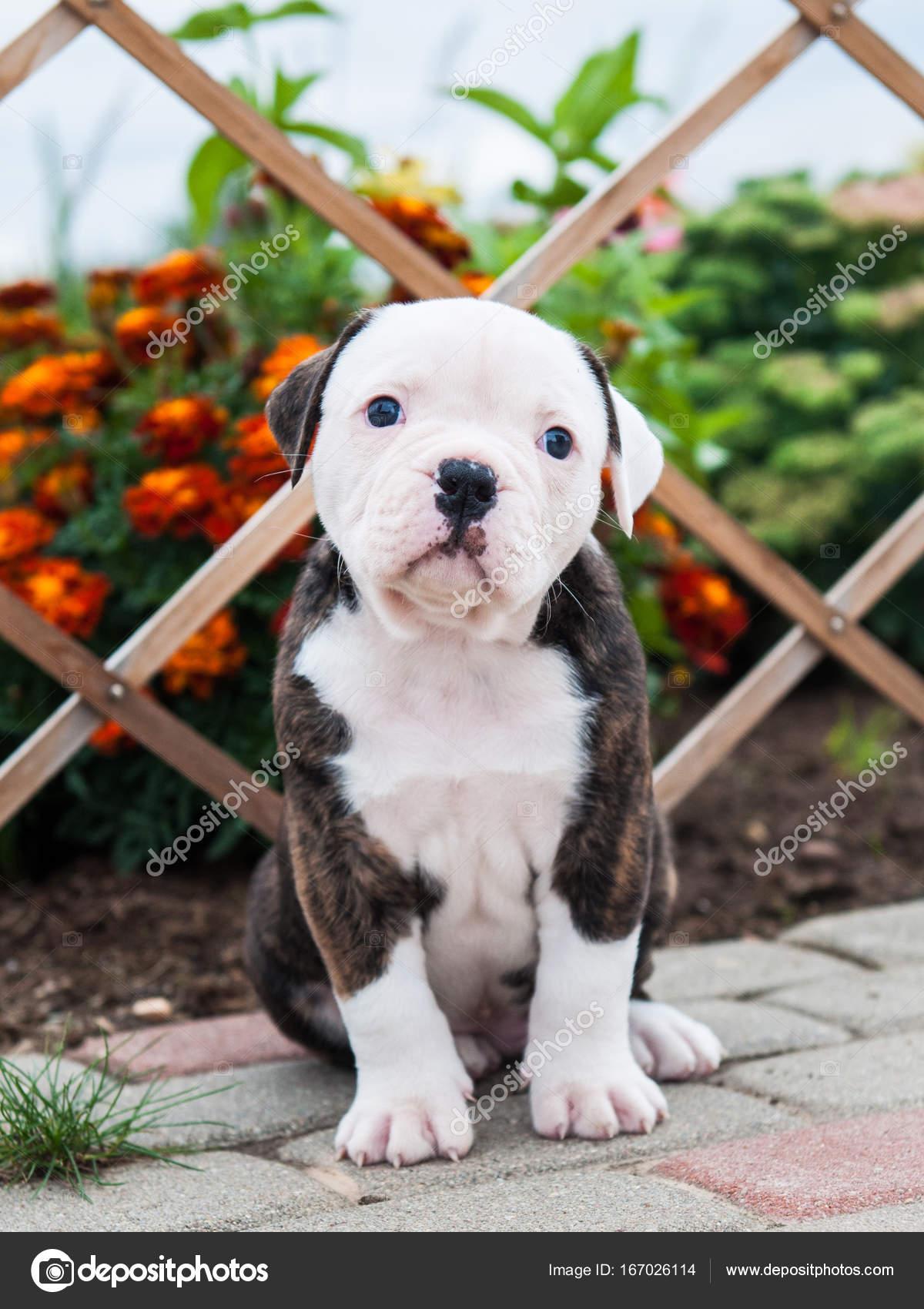 Lindo Filhote De Bulldog Americano Na Natureza Stock Photo