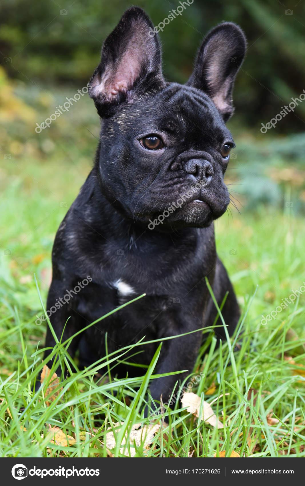 Pictures Black French Bulldog Puppy Black French Bulldog Puppy Stock Photo C Zannaholstova 170271626