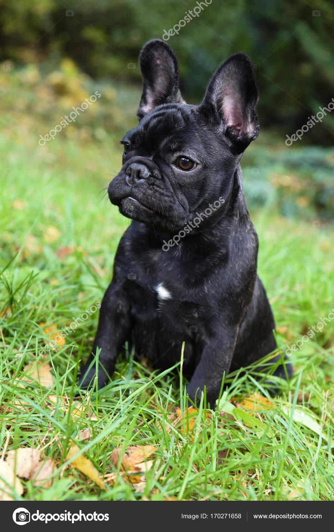 Black French Bulldog Puppy Stock Photo C Zannaholstova 170271658