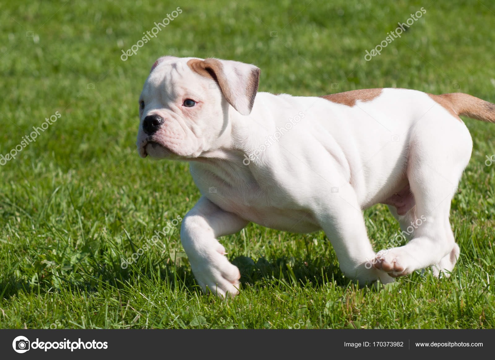 Filhote De Bulldog Americano Na Natureza Stock Photo
