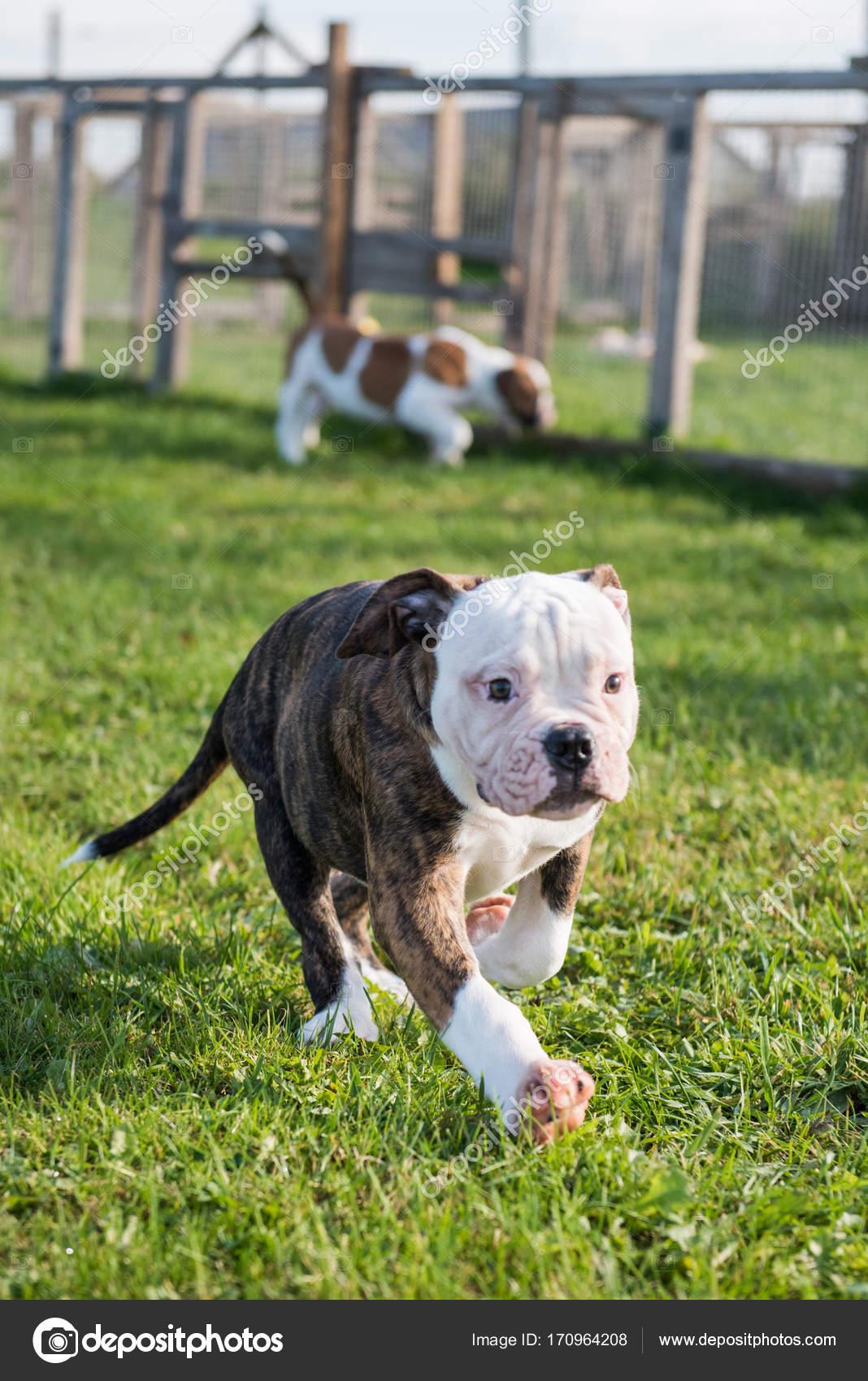 American Bulldog Puppy On Nature Stock Photo Zannaholstova