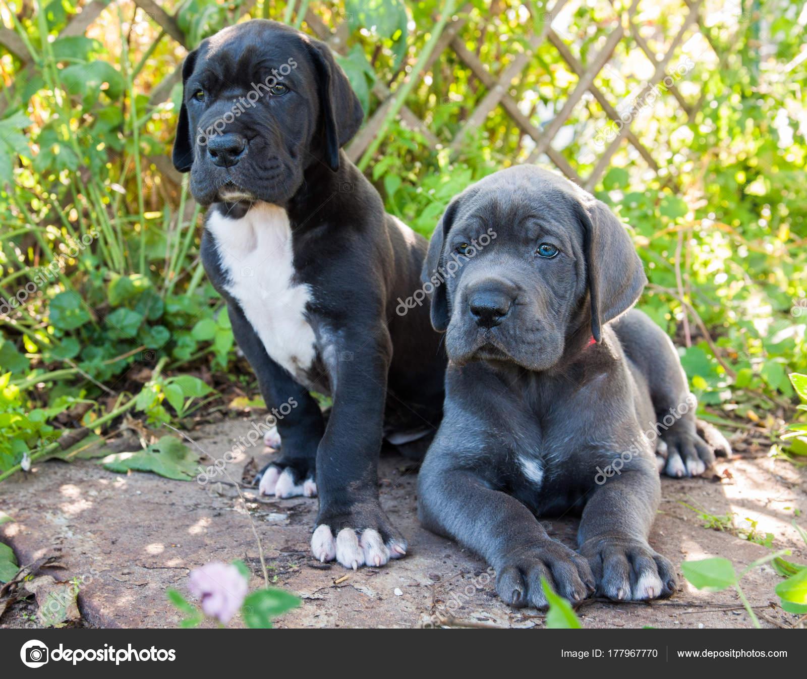 Ogromny dwa szary Dog niemiecki psy szczeniaki odkryty — Zdjęcie stockowe RG28
