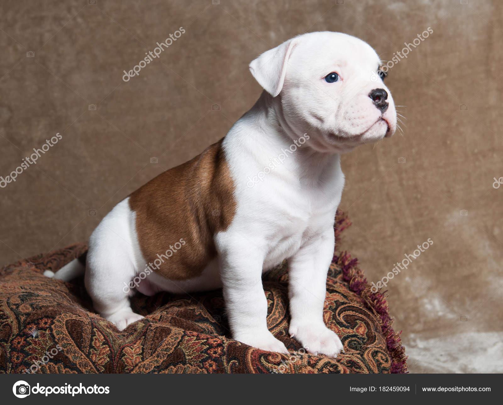 Filhote De Bulldog Americano Engraçado Vermelho Cor Branca Sobre