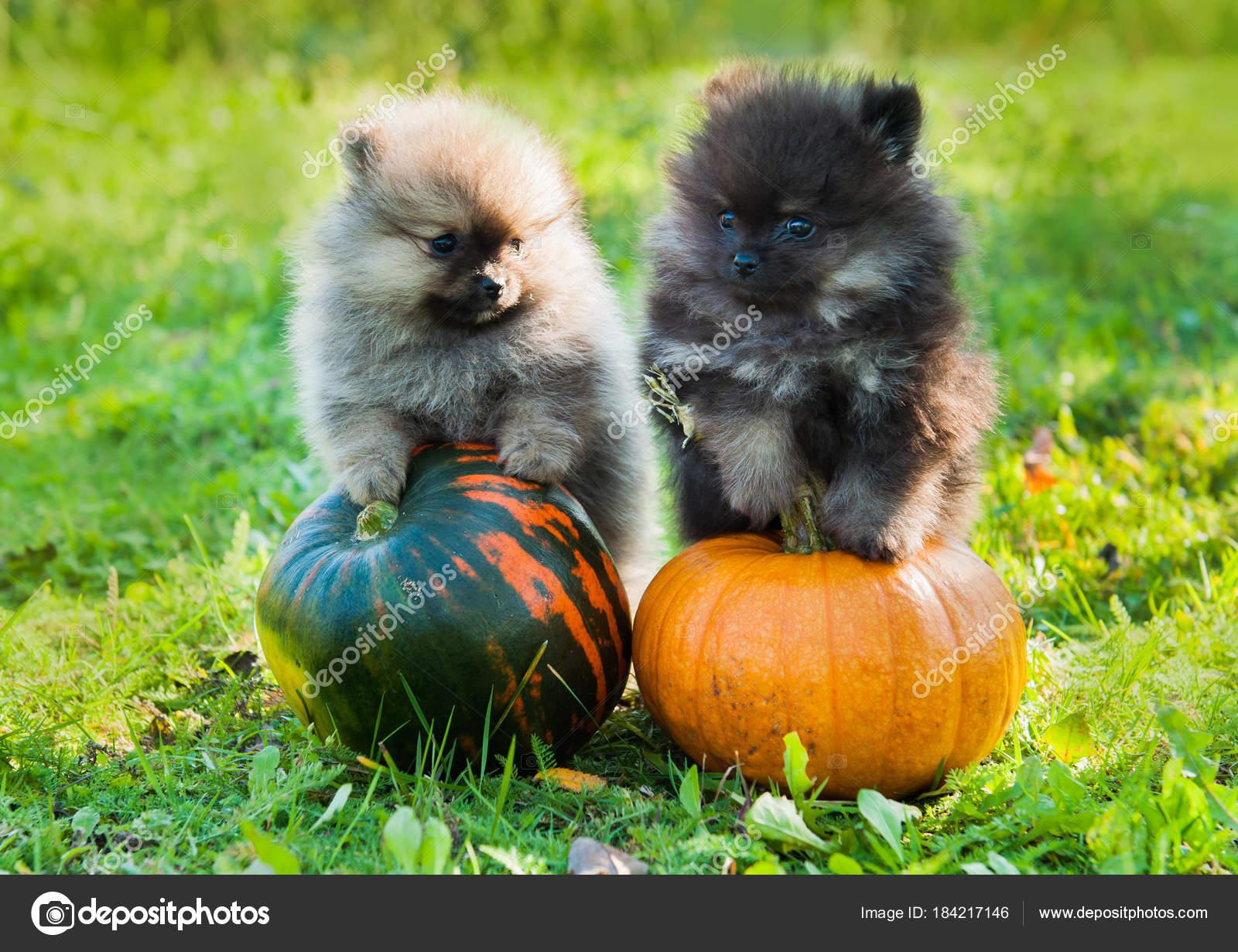 pomeranian dogs and pumpkin, halloween — stock photo © zannaholstova