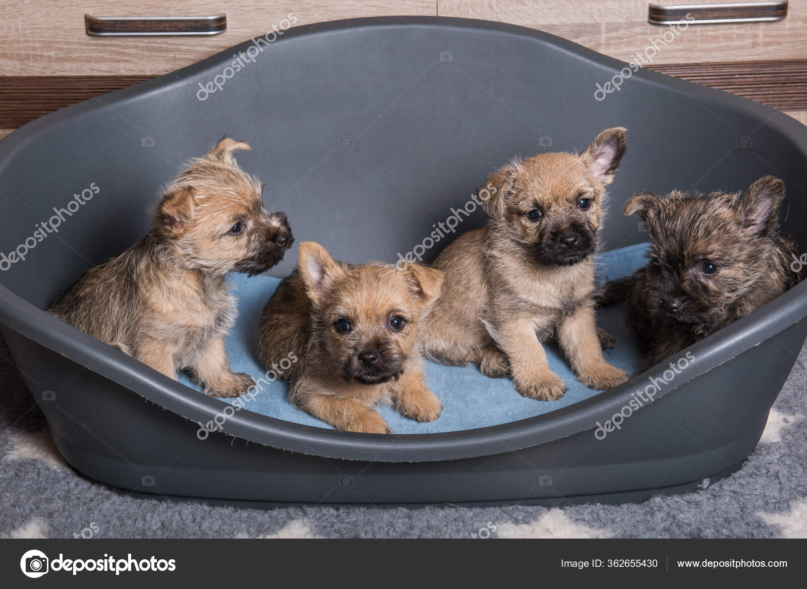 Irish Terrier PNG clipart images free download | PNGGuru | 1168x1600