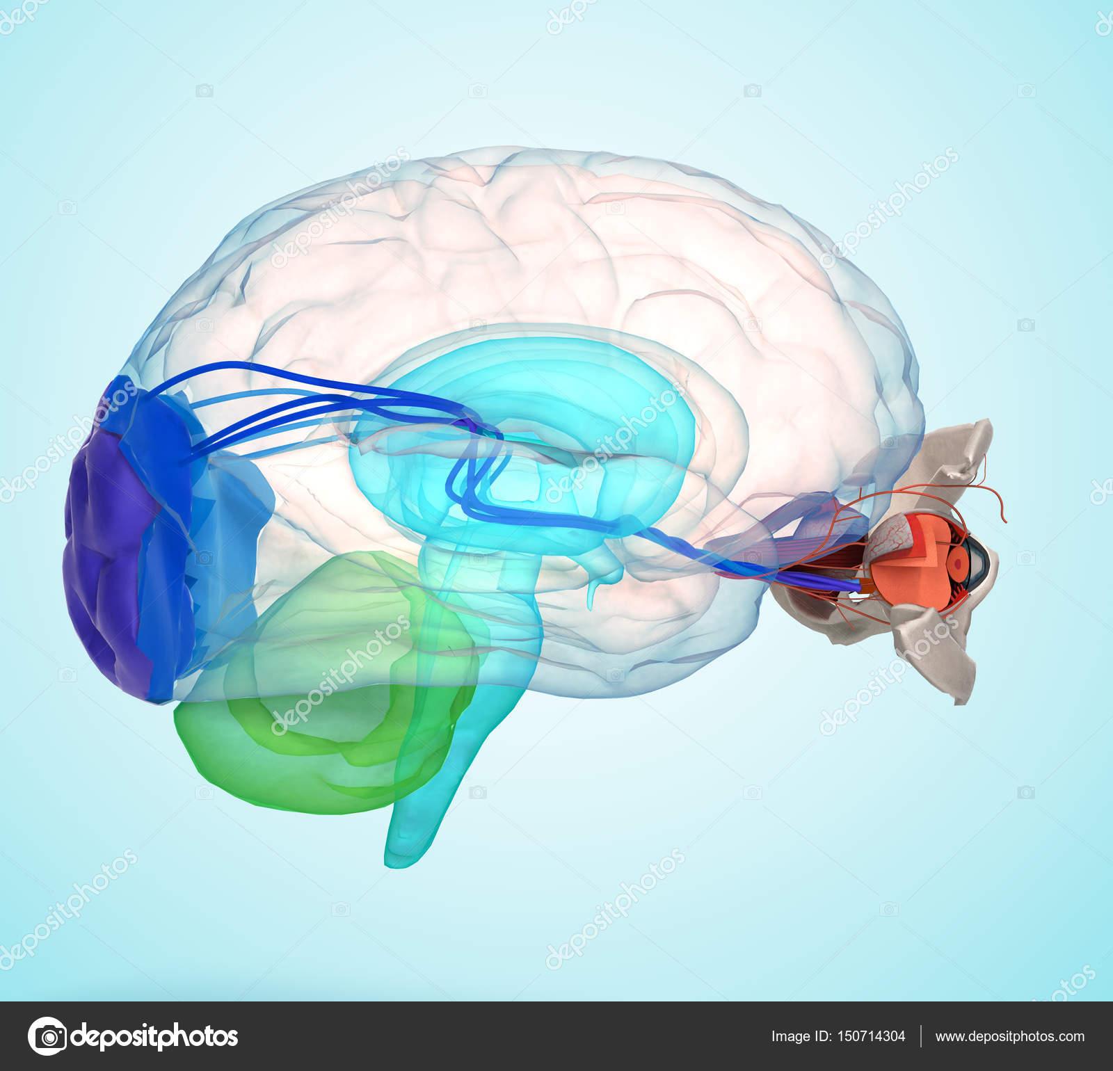 Auge-Anatomie und Struktur, Muskeln, Nerven und Blutgefäße des ...