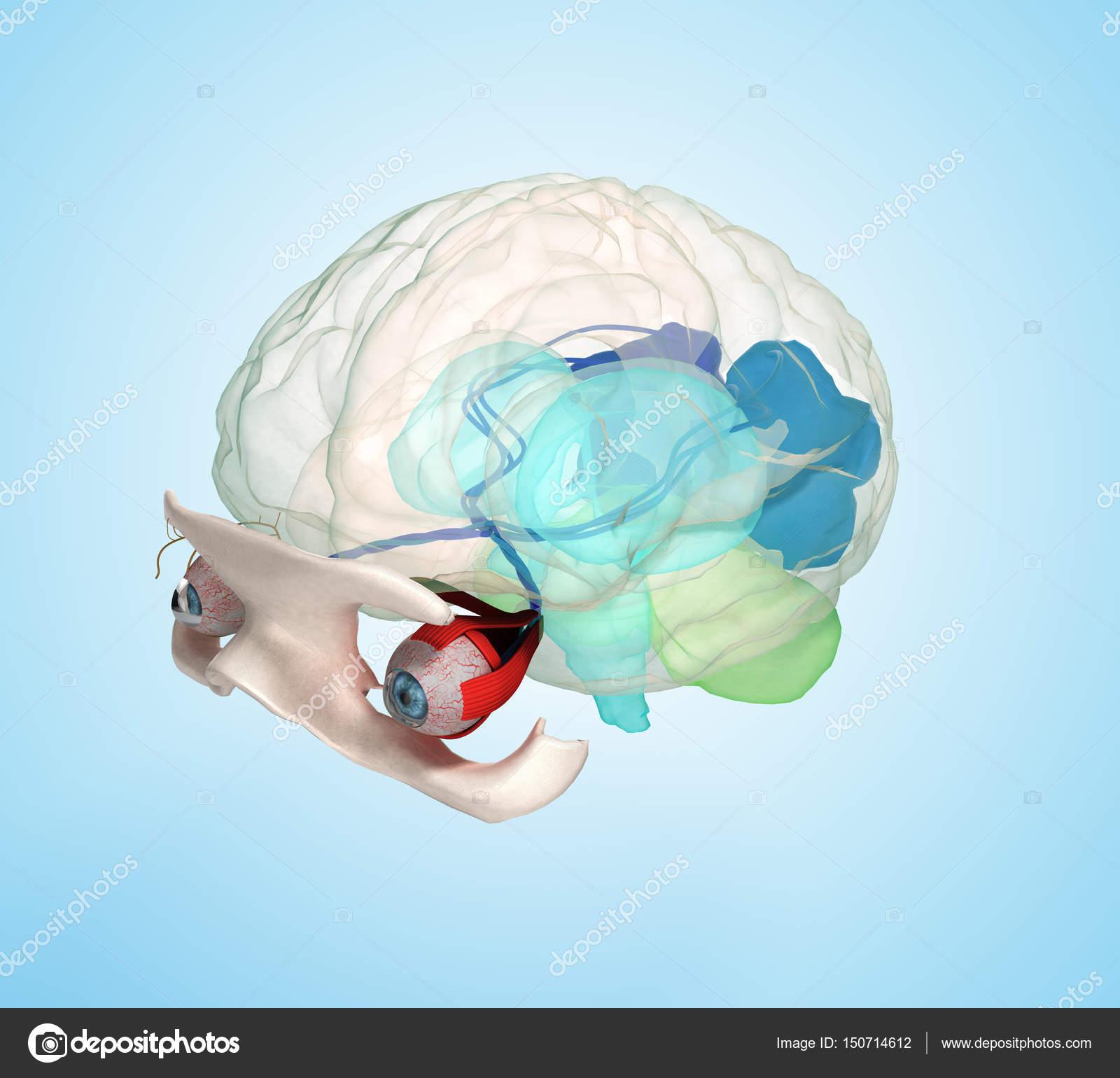 Ojo anatomía y estructura, músculos, nervios y vasos sanguíneos del ...