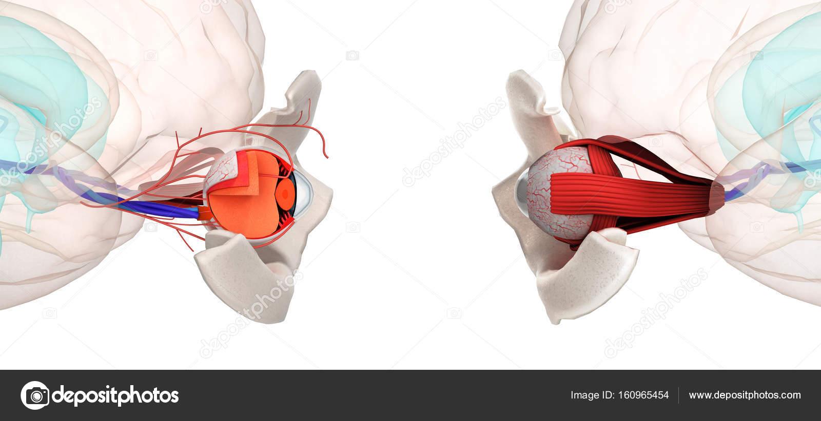 Oeil anatomie et structure, muscles, nerfs et vaisseaux sanguins du ...
