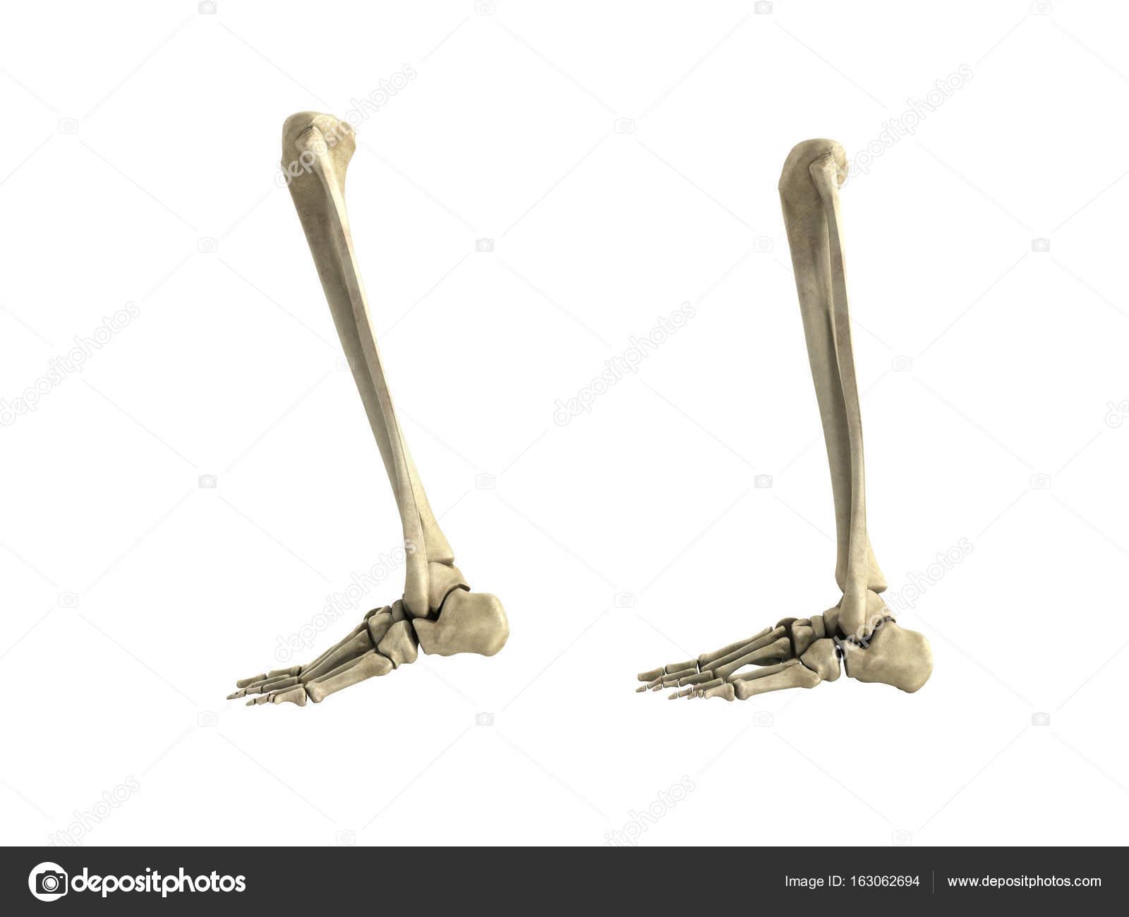 ilustración médica exacta de la inferior de la pierna huesos 3d ...
