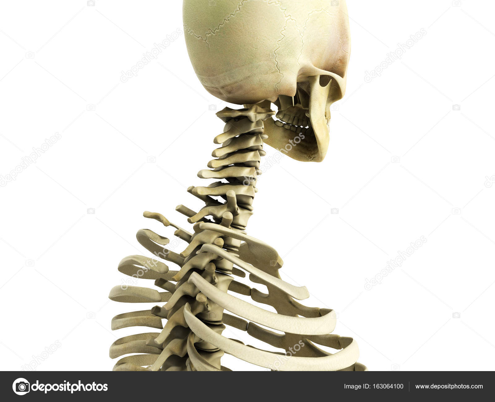 Medically Accurate 3d Illustration Of The Skeletal System The Ce