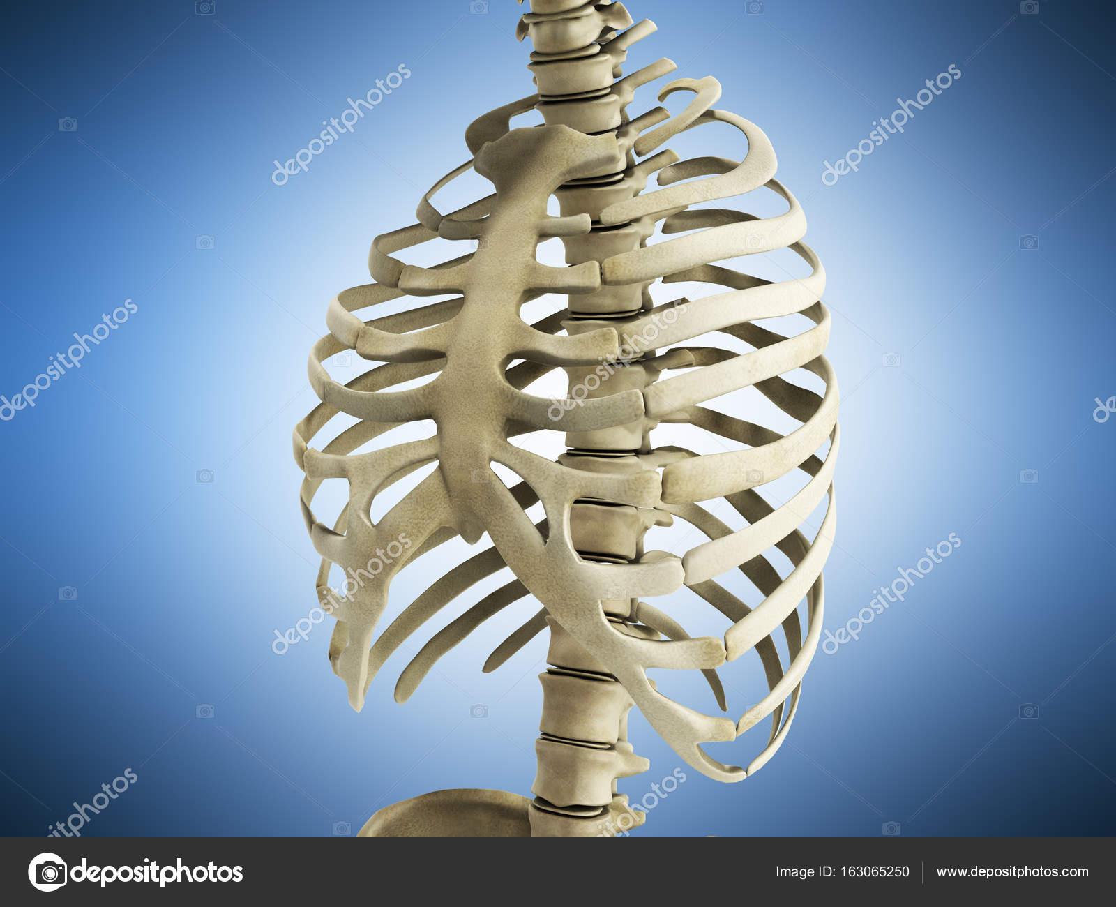 uman Skeleton Ribs with vertebral column Anatomy Anterior view 3 ...