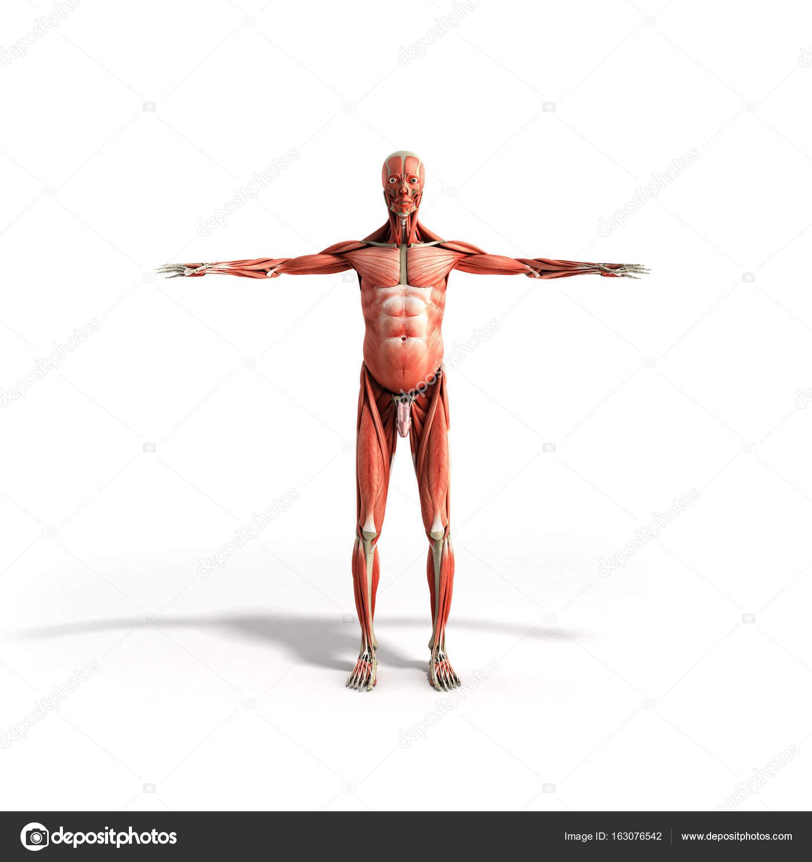 Anatomía muscular 3d render frente blanco — Foto de stock ...
