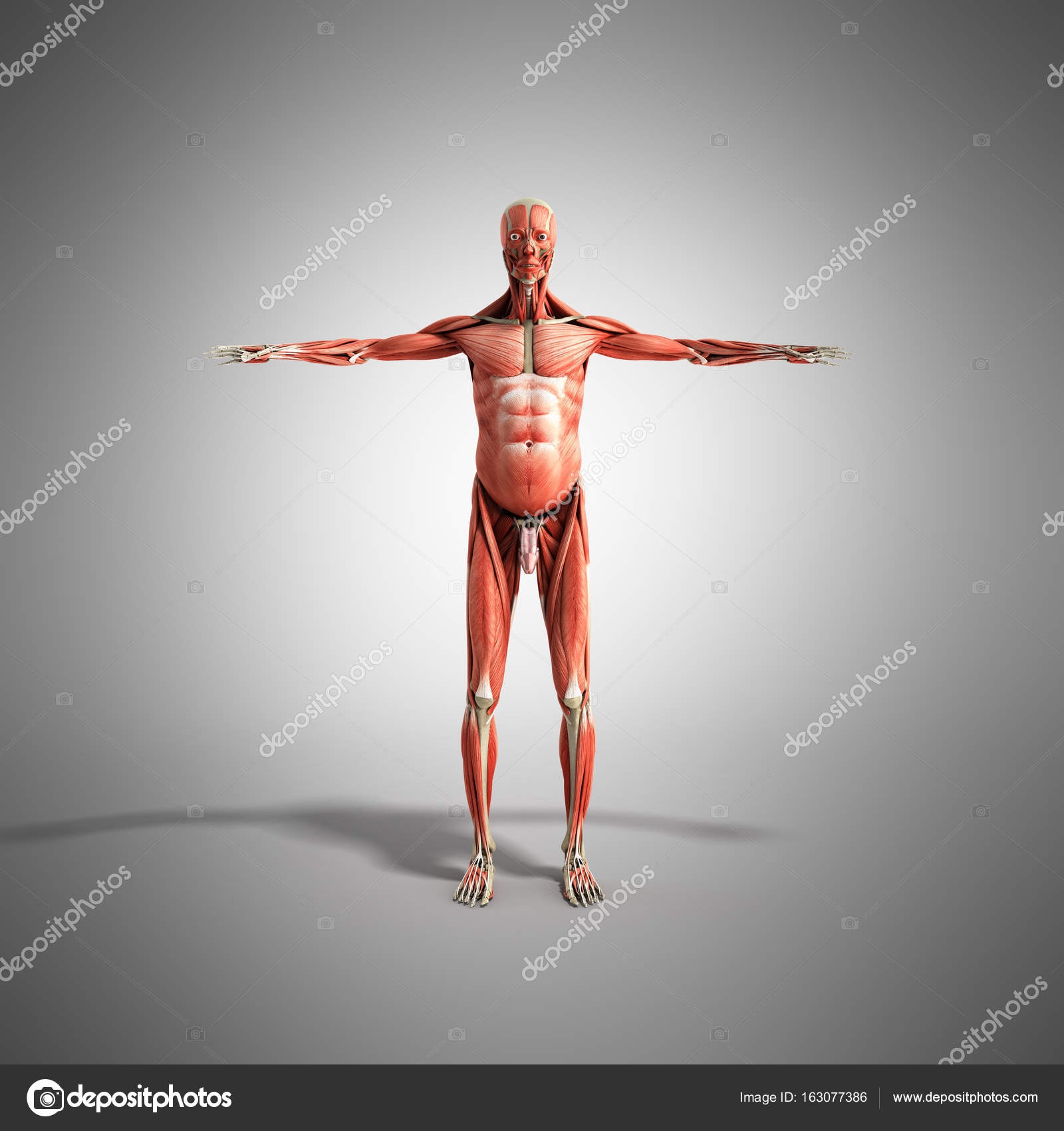 Human Muscle Anatomy 3d render on grey front — Stock Photo ...