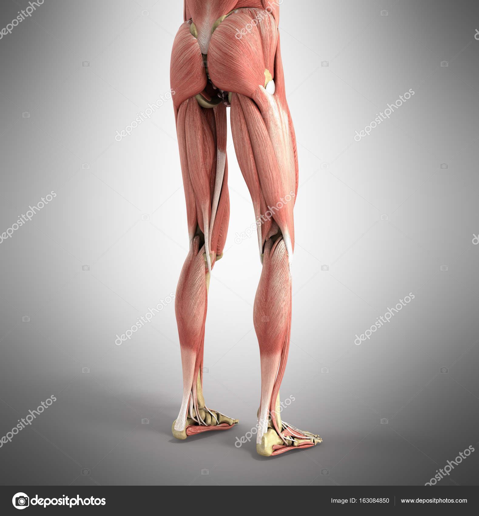 medizinische genaue Abbildung von Bein Muskeln 3d Render auf gr ...