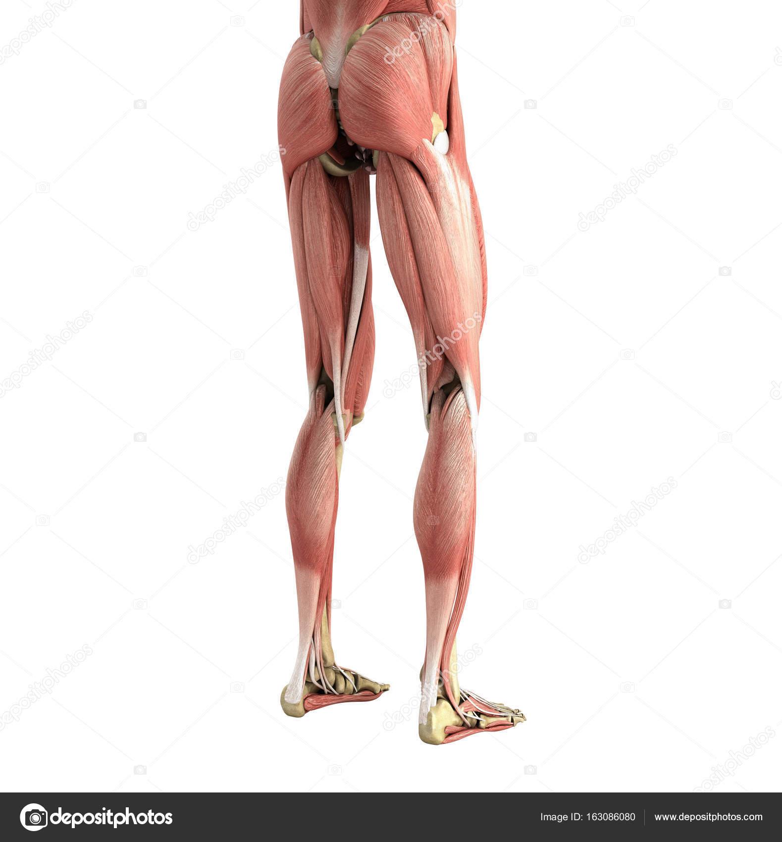 medizinische genaue Abbildung von Bein Muskeln 3d Render auf wh ...