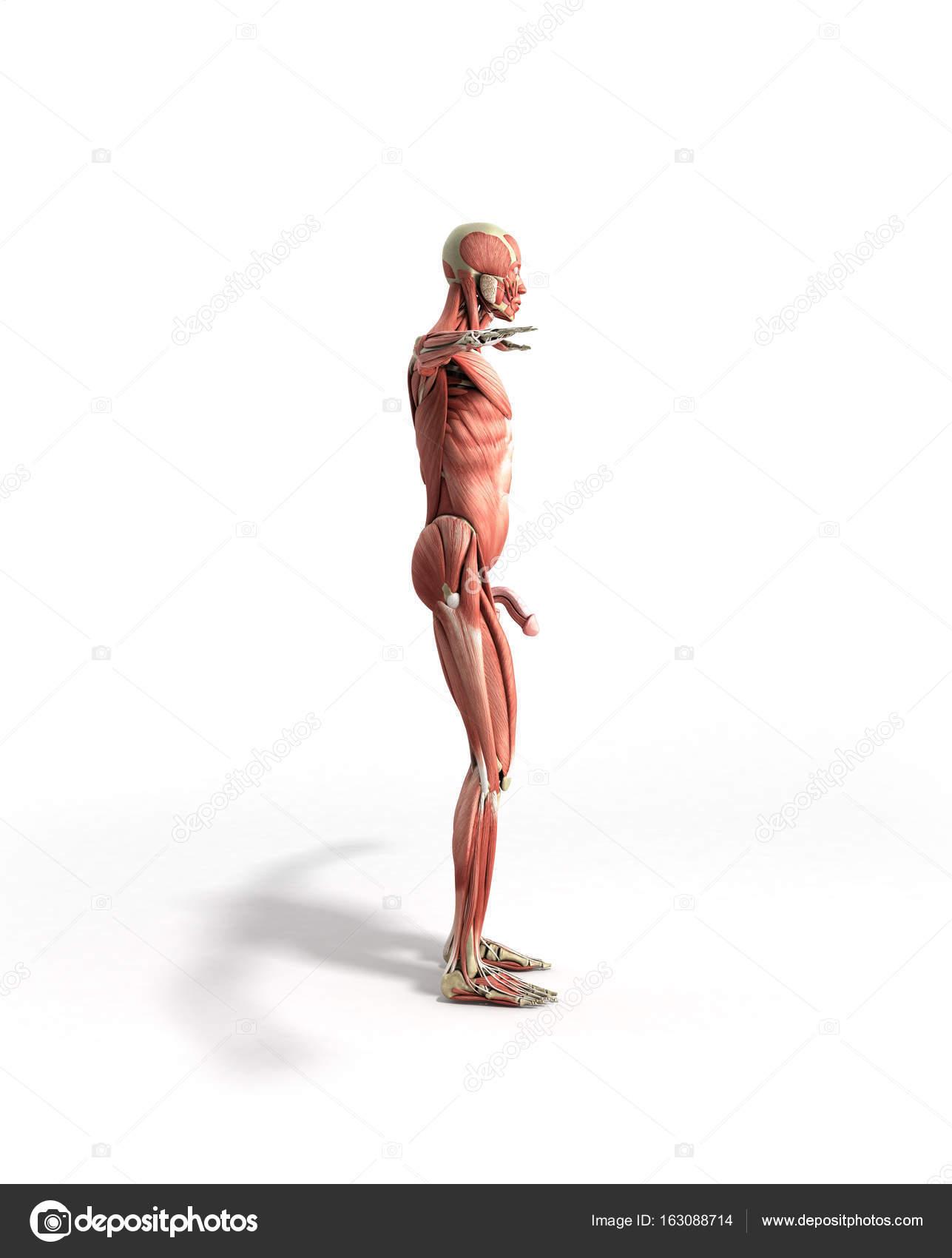 Anatomía muscular 3d render en blanco — Foto de stock © NosorogUA ...