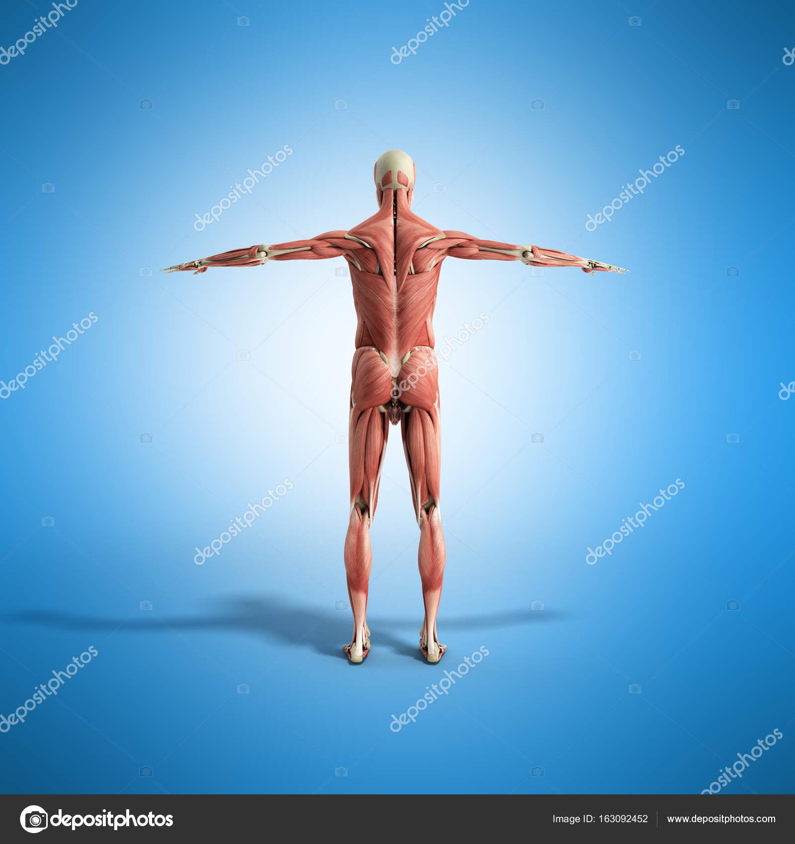 Anatomía muscular 3d render en azul — Foto de stock © NosorogUA ...