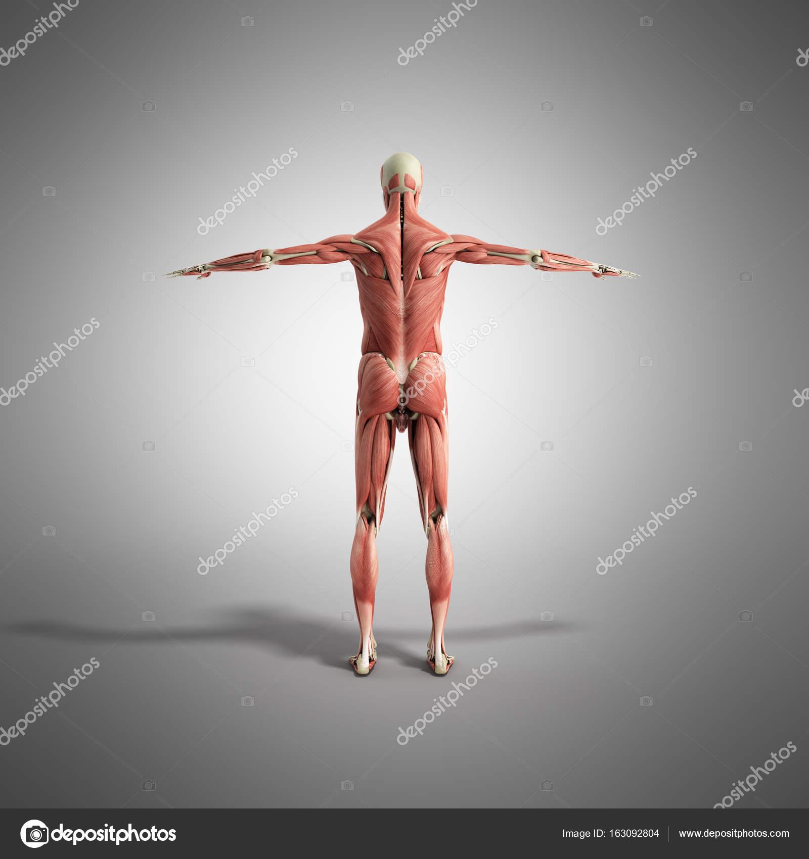 Anatomía muscular 3d render en gris — Fotos de Stock © NosorogUA ...