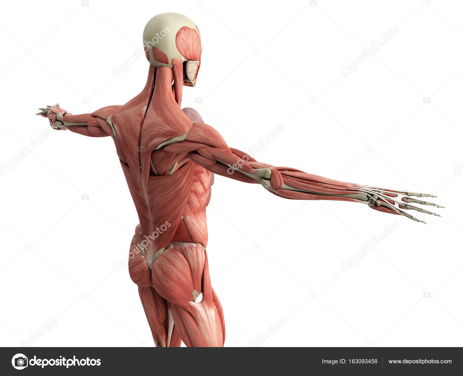 Human Muscle Anatomy 3d Render On White Stock Photo Nosorogua