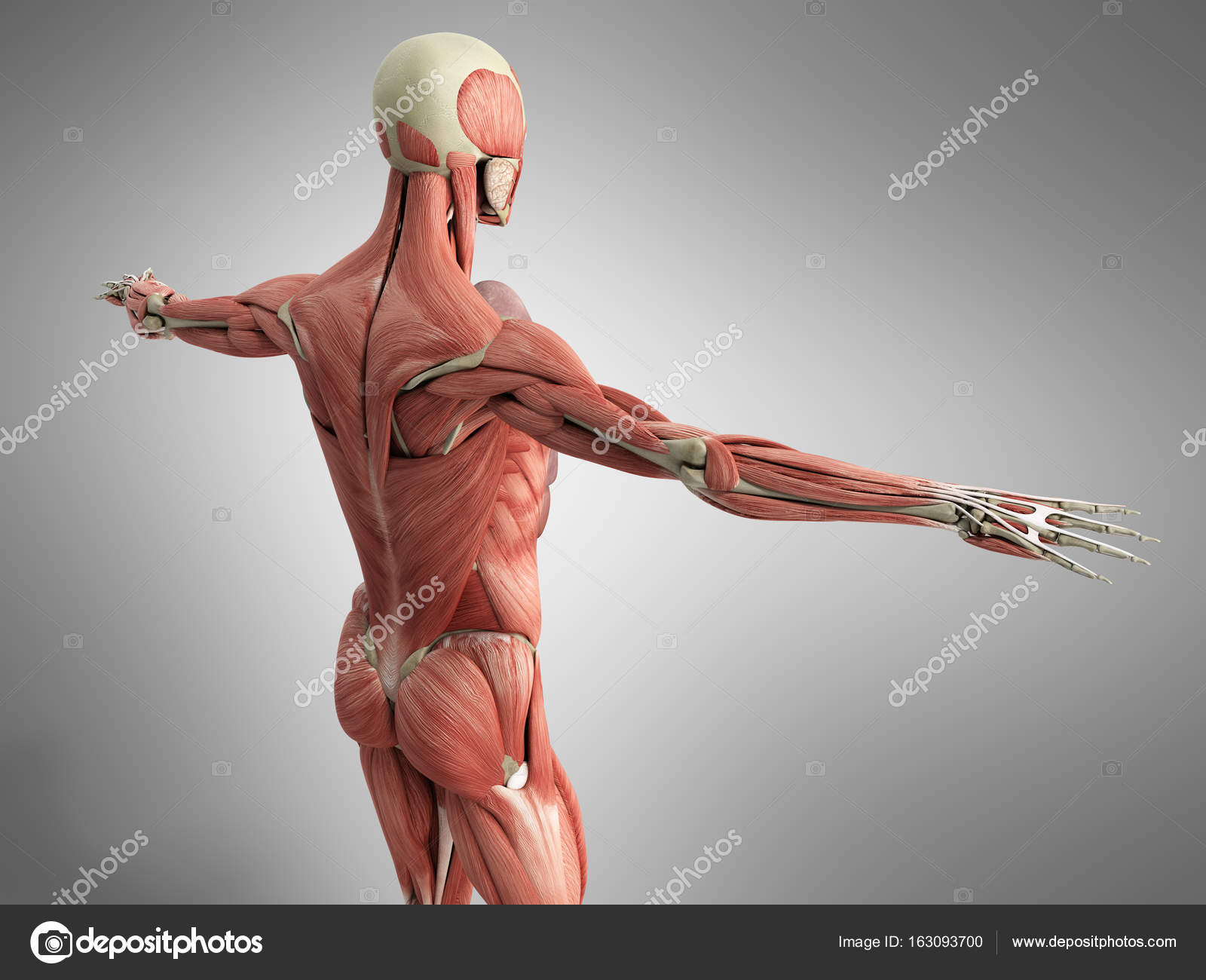 Human Muscle Anatomy 3d render on grey — Stock Photo