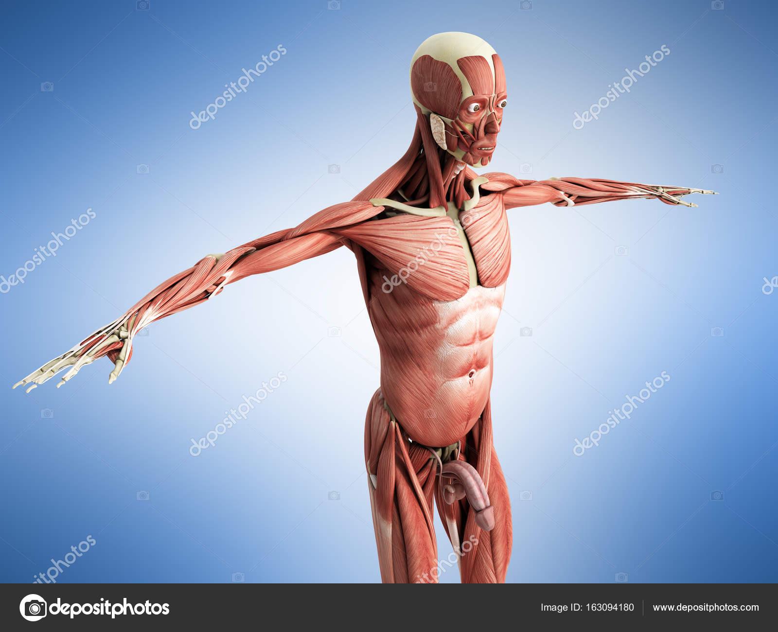 Muskeln Anatomie 3d Render auf blau — Stockfoto © NosorogUA #163094180