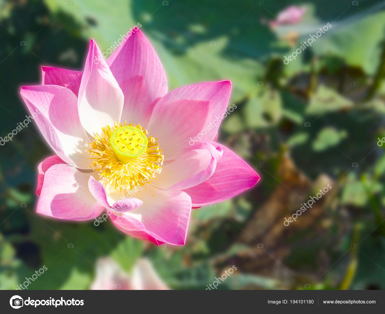 Beautiful lotus flower is the symbol of the buddha thailand beautiful lotus flower is the symbol of the buddha thailand photo by asaneephoto izmirmasajfo