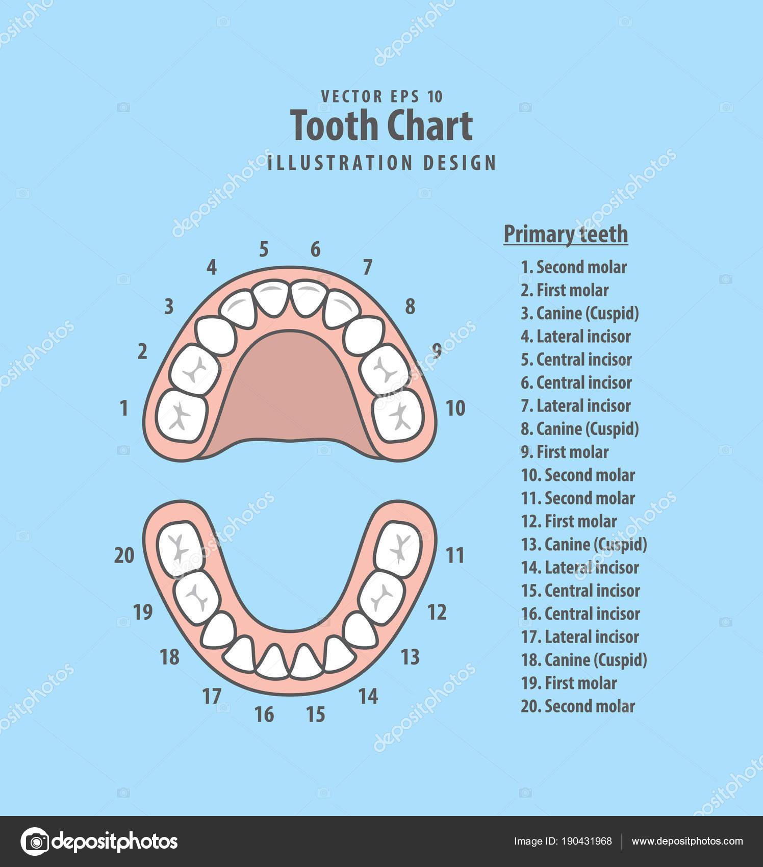 Zahn-Diagramm Milchzähne mit Nummer Illustration Vektor auf blu ...