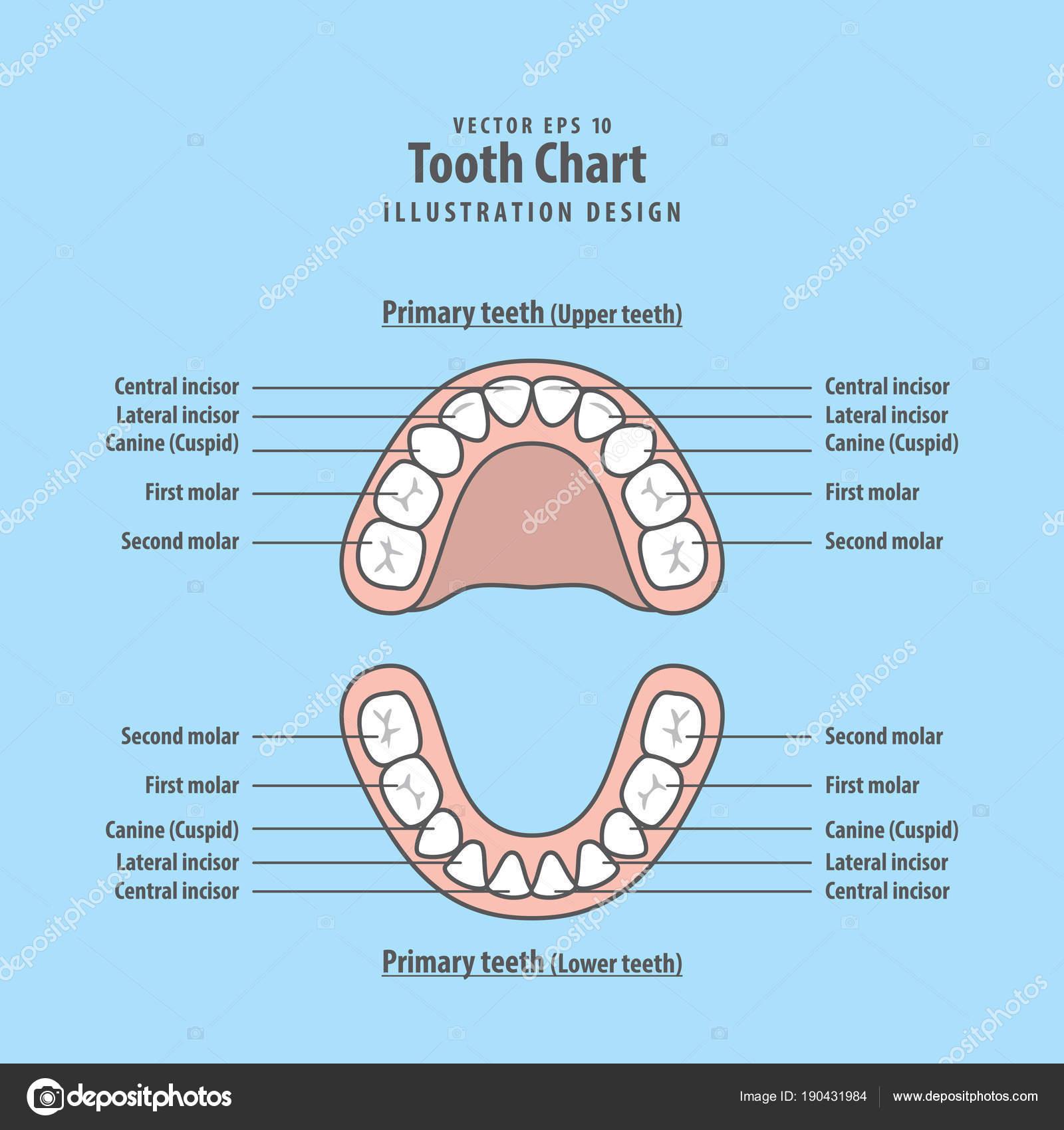 Zahn-Diagramm Milchzähne Illustration Vektor auf blauem Hintergrund ...
