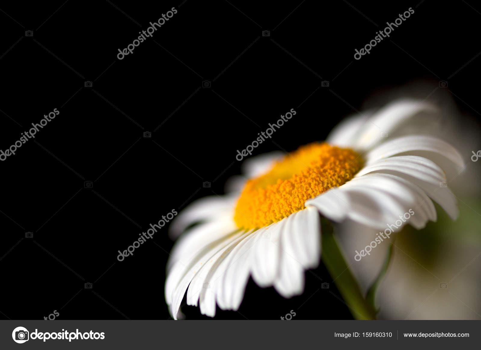 Camomille Sur Fond Noir Papier Peint Floral Photographie Janis S