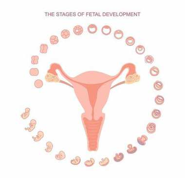 vector illustration uterus and stages of fetal development. isolated on white background. Pregnancy. Fetal growth from fertilization to birth, fetus development. Embryo development.