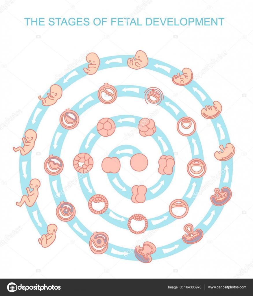 Vector illustration stades du développement fœtal. isolé sur fond ...
