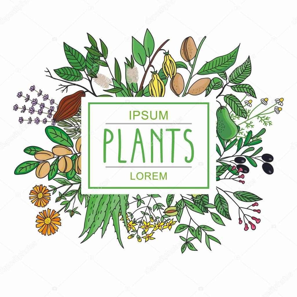 illustration of a plant - aloe vera, tutsan, lavender, jojoba, almond, olive, chamomile,calendula, tea tree, argan, cocoa, avocado, Ylang-Ylang, clove. plants collection.
