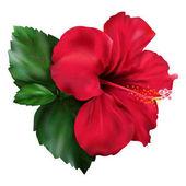 Ibišek červený karkade tropických exotických květin rostliny