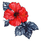 Fotografie Watercolor red hibiscus karkade tropical exotic flower plant isolated