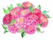 Fényképek Akvarell, rózsaszín rózsa pünkösdi rózsa csokor virág virág kompozíció elszigetelt