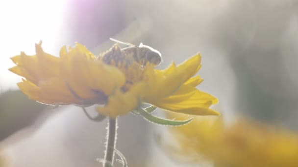 Bee on a flower in the sun at sunset