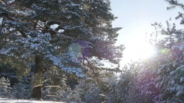Winter fir forest in the snow in the sun