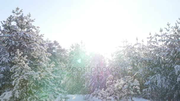 Zimní jedle les na sněhu na slunci