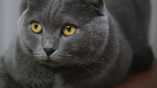 junge britische Katze liegt auf einem Stuhl und blickt in die Kamera