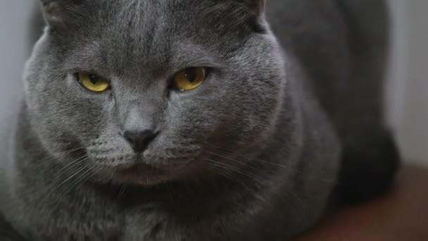 Mladá britská kočka ležící na židli a při pohledu na fotoaparát