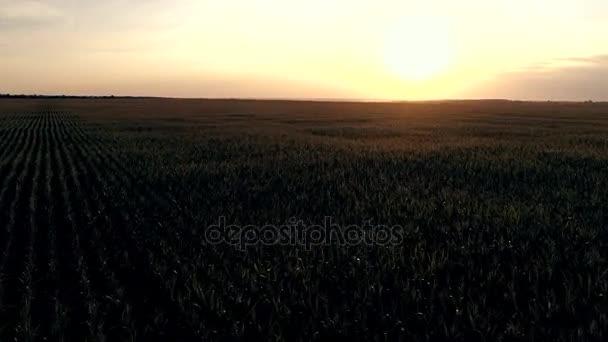 Kukuřičné pole s ptačí pohled při západu slunce. Letecké fotografie z kukuřice