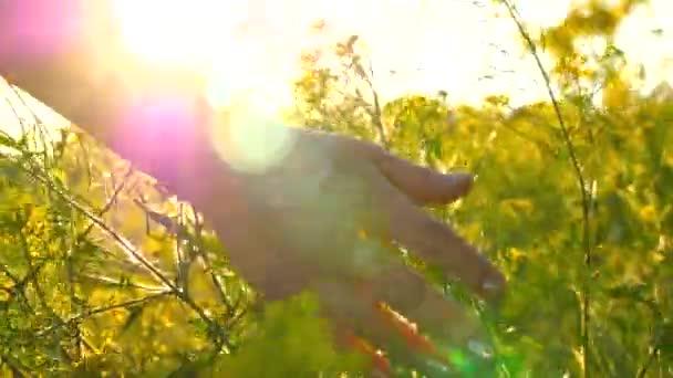 Mladá žena ruku procházející divoká louka pole. Ženská ruka se dotýká divoké květiny close-up