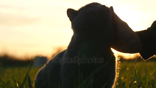A girl stroking a British breed cat in a field at sunset in the sun