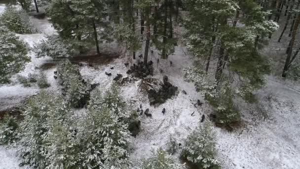 Eine Ziegenherde zieht auf der Suche nach Nahrung durch den verschneiten Wald. Luftaufnahmen Video 4k