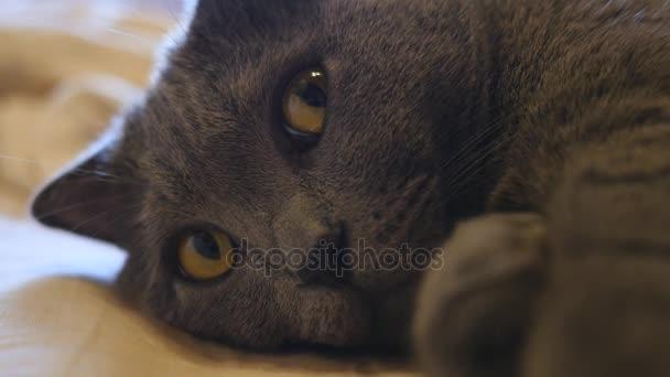 Gatto British Shorthair Con Gli Occhi Gialli Sdraiata Sul Letto