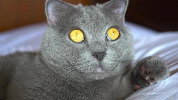 Britská krátkosrstá kočka se žlutýma očima, ležící na posteli